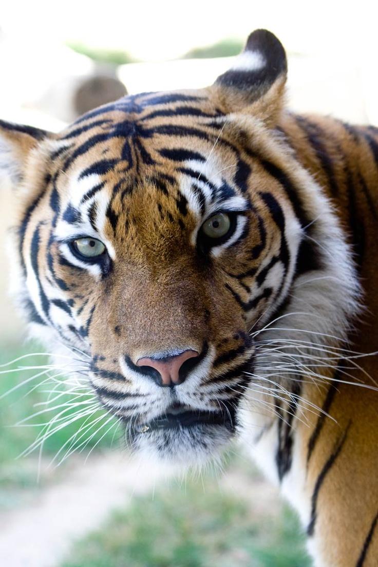 Retrato de un tigre