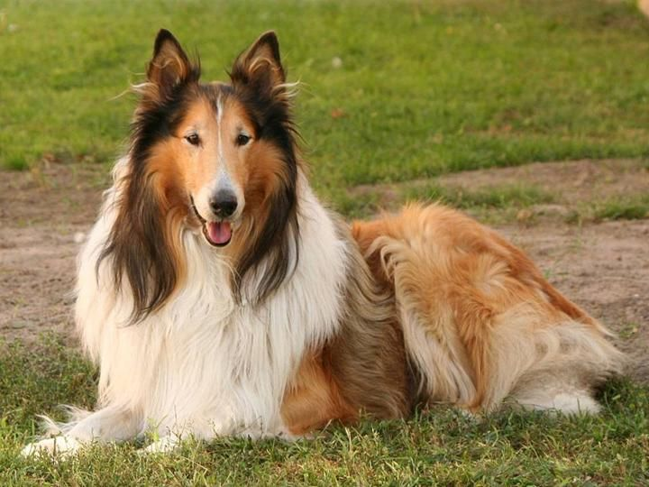 Very Beautiful Dog Collie Puppies Collie Puppies For Sale Dog Breeds