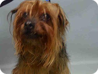 Yorkie, Yorkshire Terrier Mix Dog for adoption in Bernardston, Massachusetts - Baby is a 9yr. old senior.