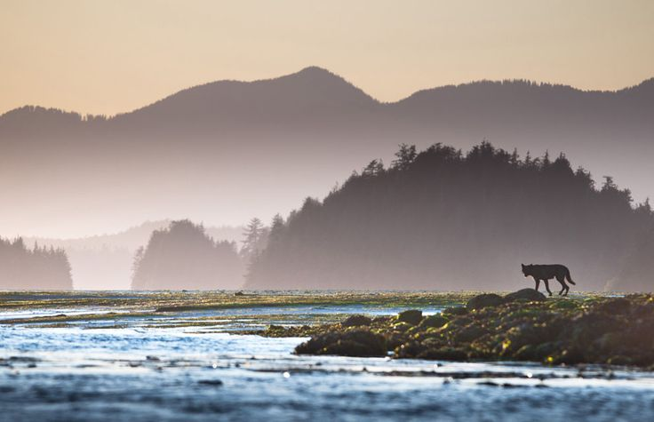 A black wolf on the mudflats off Meares Island in Clayoquot Sound UNESCO Biosphere Reserve on the remote west coast of Vancouver Island. The photo was taken shortly before sunset from a sea kayak by © Sander Jain | National Geographic Photo Contest 2012, In Focus Part II