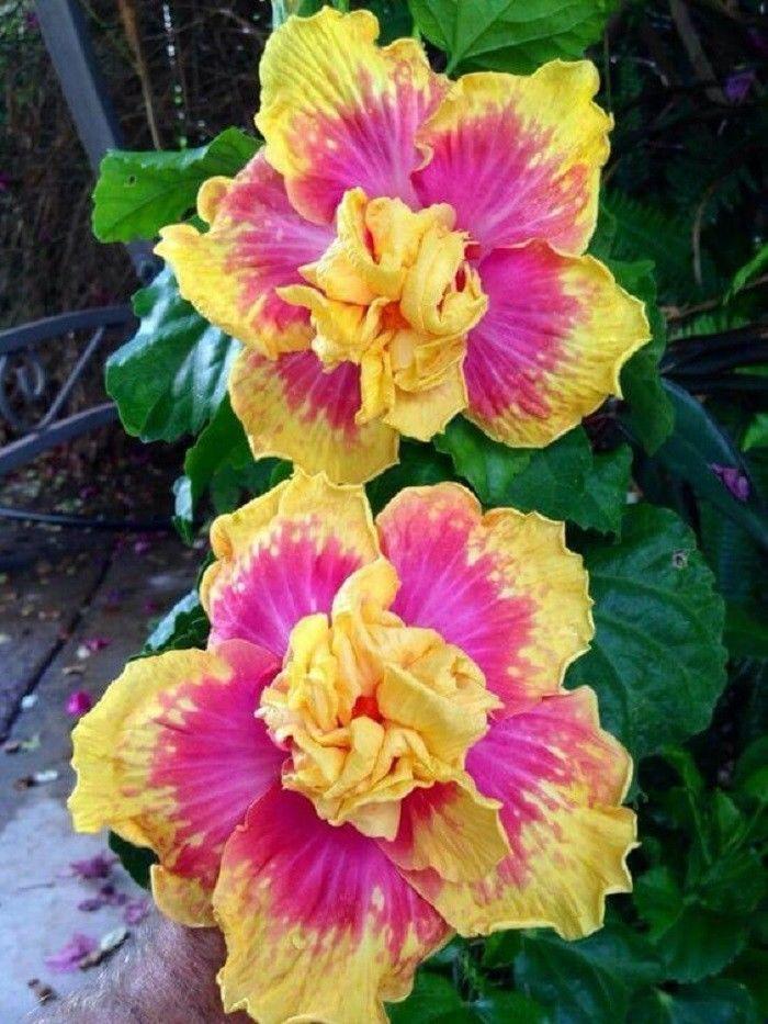 10 Double Pink Yellow Hibiscus Seeds Hardy Flower Garden Exotic