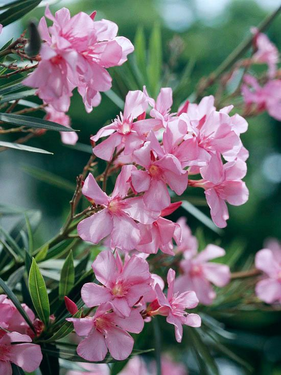 Oleander - An exceptionally easy-care subtropical shrub, oleander offers summertime flowers in shades of pink, red, purple, lilac, yellow, and white. In fact, it's so foolproof that in many areas it's grown along the sides of highways in warm-weather areas. Note, though: Oleander is extremely poisonous.