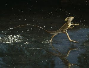 basilisk lizards can walk on water