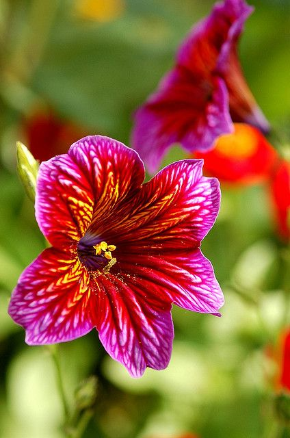 ~~SALPIGLOSSIS ~ Painted Tongue (Salpiglossis sinuata) by Mary.Do~~