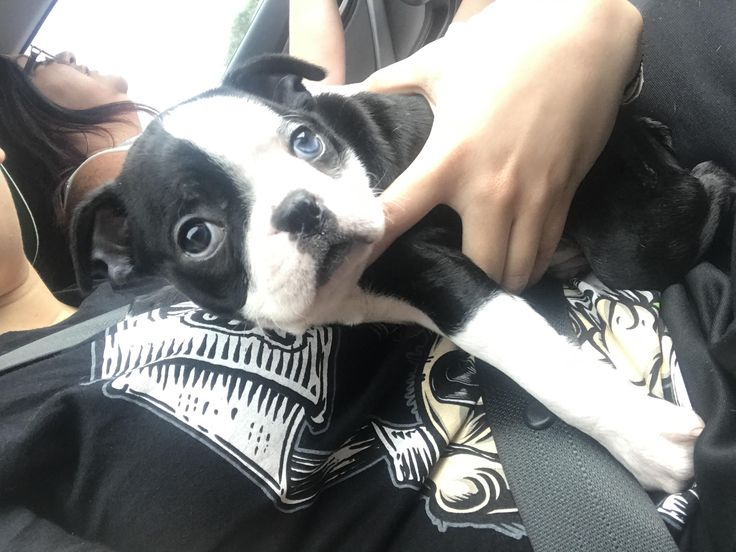 My Boston Terrier pup has 2 different colored eyes! http://ift.tt/2rqQbAl