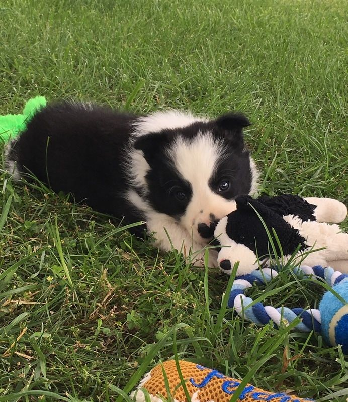 Shep A Black And White Border Collie Puppy Loves His Toys