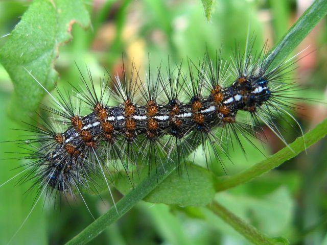 moth mountain | 身近な昆虫図鑑:クワゴマダラヒトリの幼虫(3)