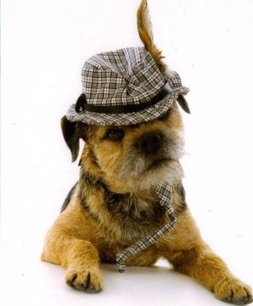 "Border terrier @ Amanda Yother - this is my ""perfect match"" dog.....what do you think?"