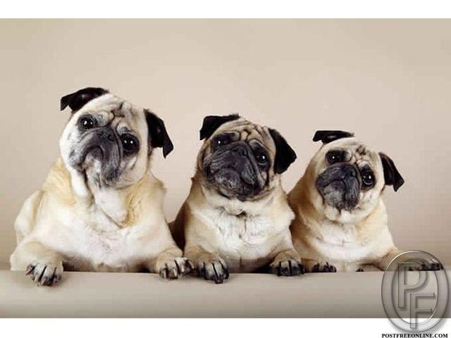 Pug Puppies Available In Mumbai Maharashtra India In Pet Animals