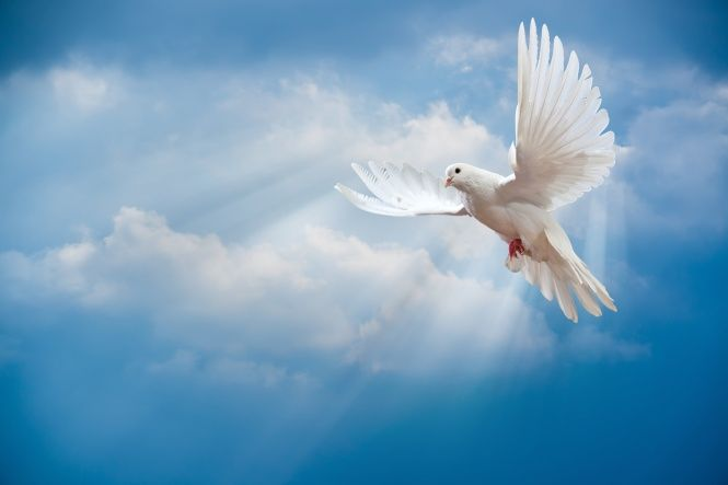pomba, céu, paz, pássaro, pomba, pombo, branco, céu, raios do sol, raios de sol, a paz