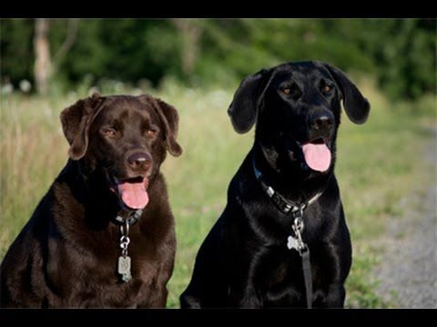 Amitié Théo et Némo - Labradors