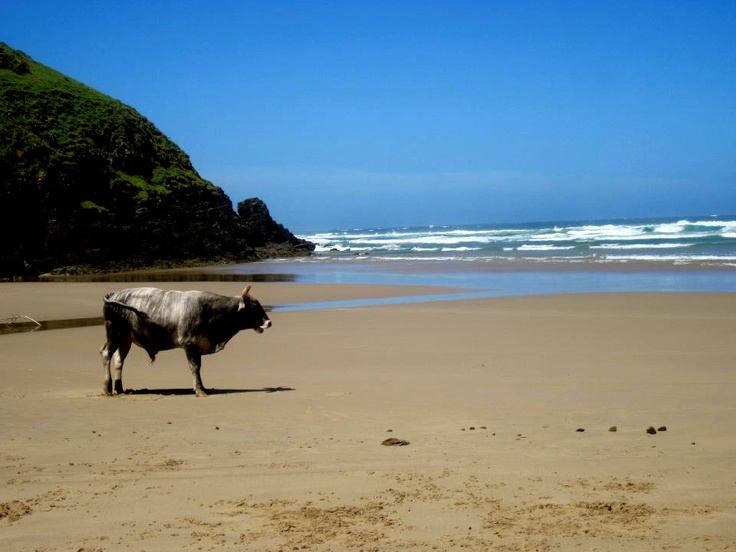 In the old Transkei (Wild Coast) cattle on the beach is a common sight.