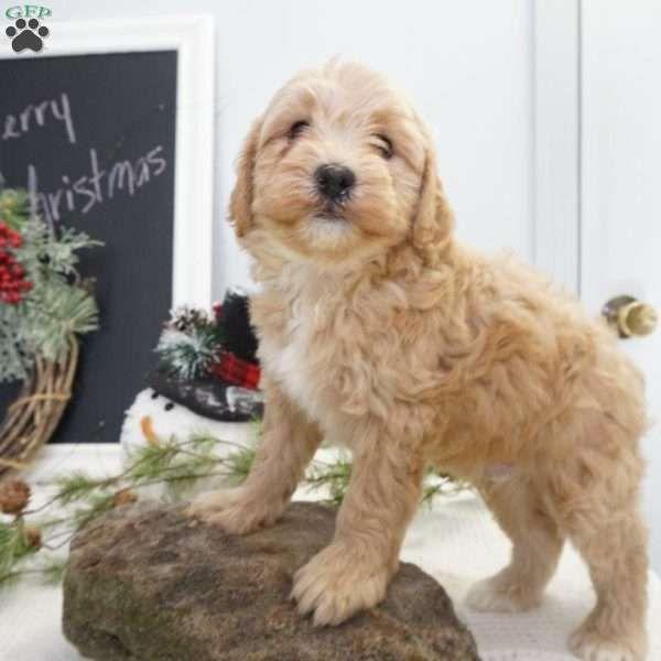 Dakota Mini Bernedoodle Puppy For Sale In Ohio With Images Bernedoodle Puppy Mini Bernedoodle Bernedoodle