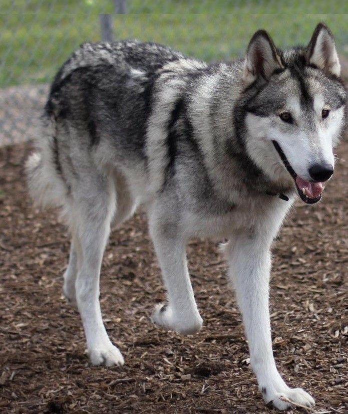 Malamute Wolf Mix 1000+ ideas about Husk...