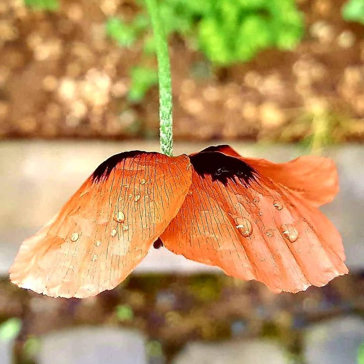 #çiçek #flower #gelincik #yakından #atesinbahcesi #dogayısev ##naturephotography #flowers# #bahçe #garden #nature #doga #ıstanbul #samsung #samsungnote5 #note5photography #