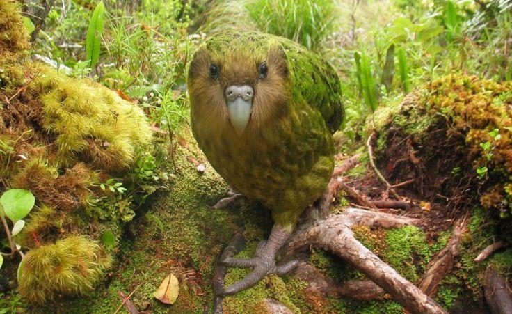 Ces 22 espèces disparaîtront probablement au cours de cette génération - Strigops kakapo (un perroquet incapable de voler)
