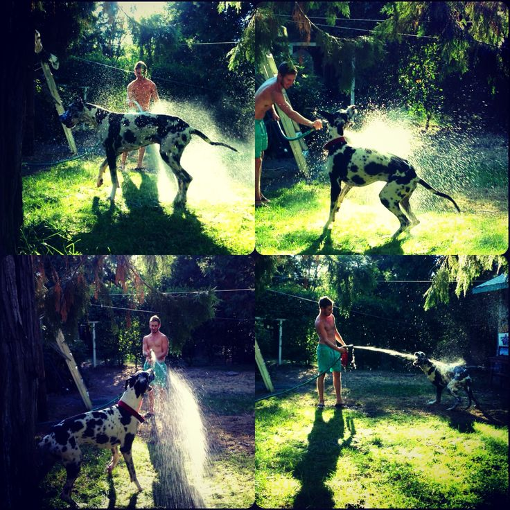 Our Great Dane, Kingston. He Loves the hose!