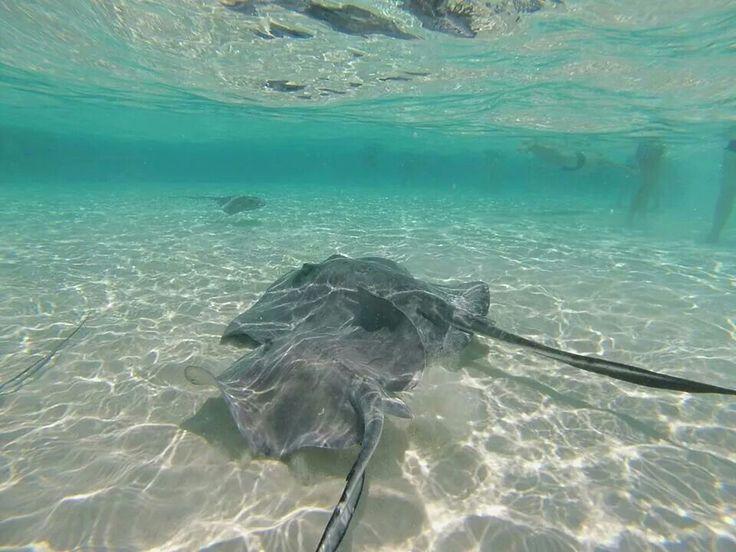 Stingray, Gran Cayman