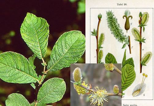 Eared Willow Salix Aurita 2 5m Tall Electric Fence