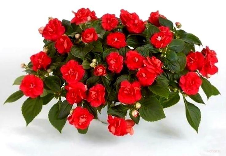 Бальзамин (Implatiens) – великолепное ярко цветущее растение, которое можно выращивают как комнатный цветок, также высаживают на садовые клумбы, в балконные ящики и вазоны.