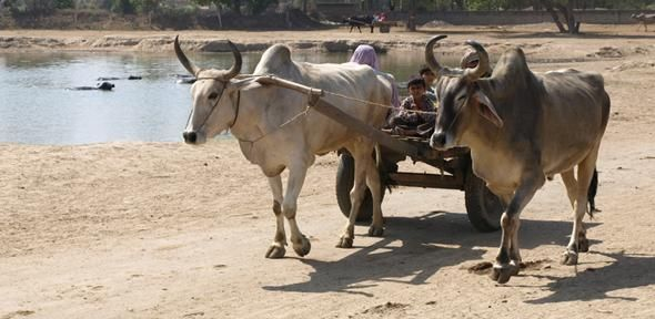 Rice farming in India much older than thought, used as 'summer crop' by Indus civilisation | University of Cambridge  Image: Zebu cattle pulling a wagon beside a pond at the Indus Civilisation site of Rakhigarhi in northwest India Credit: Cameron Petrie  #archaeology #bronze #diet #food #security