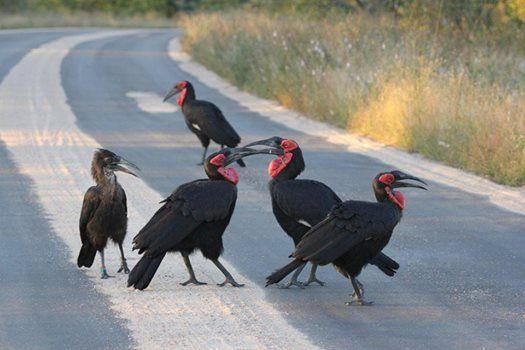 Great Wildlife Sightings at #JockSafariLodge in November.Great #Hornbills #KNP