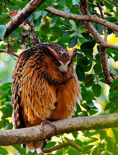 Tawny Fish Owl by FleetingVisions. This is the scariest effing thing I have ever fricken seen! :S omg it makes me want to punch a baby