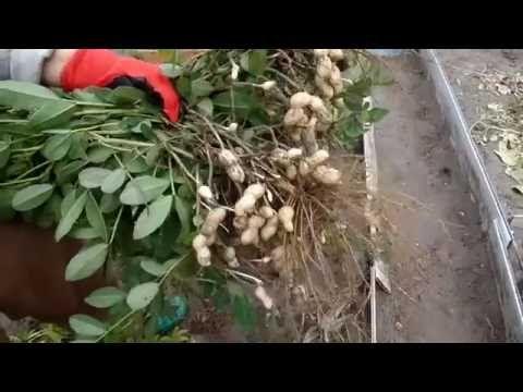 Арахис на даче полный процесс от посадки до сбора урожая - YouTube