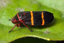 Cercopidae(froghoppers, spittlebugs) order Homoptera  - nymphs produce a solution of frothed plant sap for protection(hence the name spittlebug) - adults jump, often have red and black, but can be brown