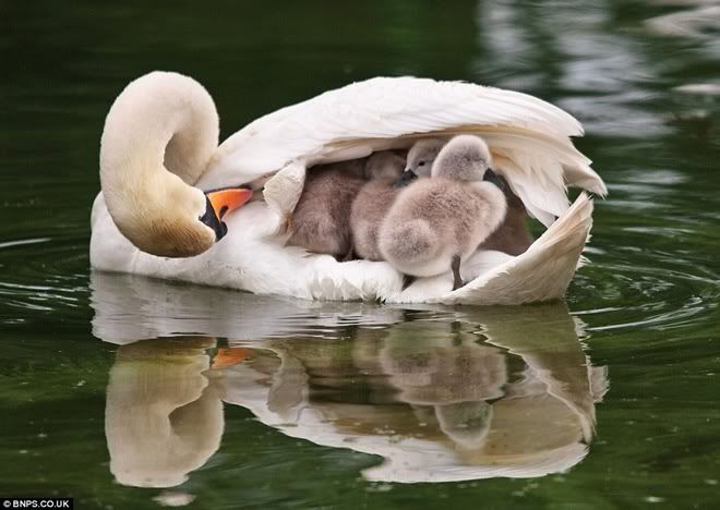 safe with mommy....The Ponds, Mothers Love, Sweets, Beautiful, Baby, Feathers, Families, Birds, Animal Photos