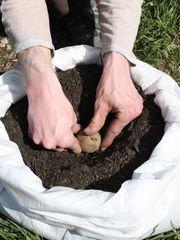 Aus einem mit Erde gefüllten Reissack kann man bis zu einem Kilo Kartoffeln ernten.