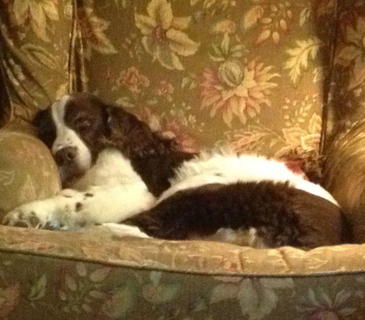English Springer Spaniel Daisy sleeping on her comfy Arhaus chair!