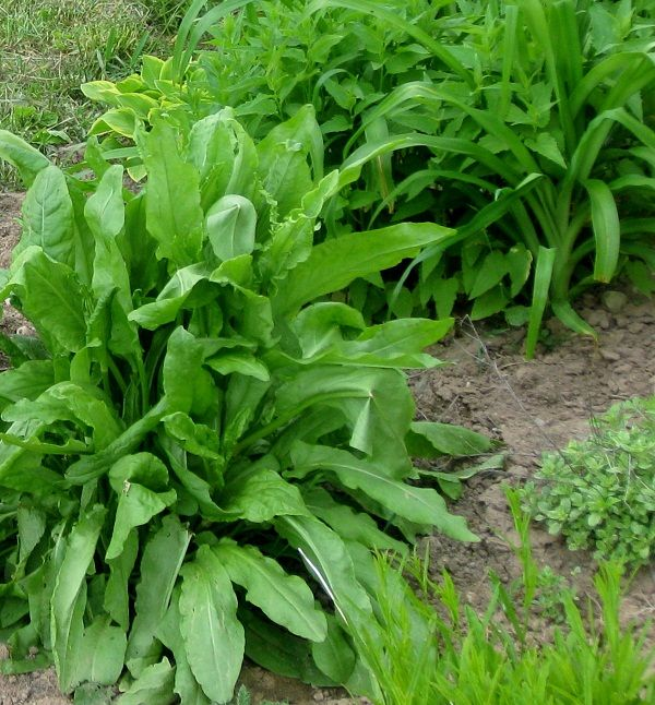 French Sorrel is a great dynamic accumulator! Skilled at grabbing nutrients from the soil, while also being a perennial edible!