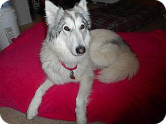 Pueblo West, CO - Collie/Husky Mix. Meet Aurora, a dog for adoption. http://www.adoptapet.com/pet/16960607-pueblo-west-colorado-collie-mix