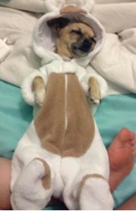 1050 Best Chihuahua Holiday Images On Pinterest Pets Chihuahua