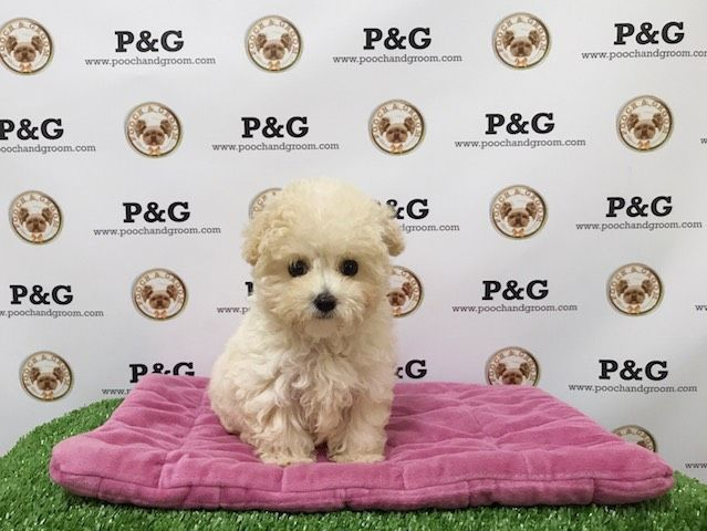 Maltese-Poodle (Toy) Mix puppy for sale in TEMPLE CITY, CA. ADN-31663 on PuppyFinder.com Gender: Female. Age: 13 Weeks Old