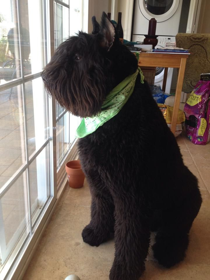 The perfect groomed Bouvier