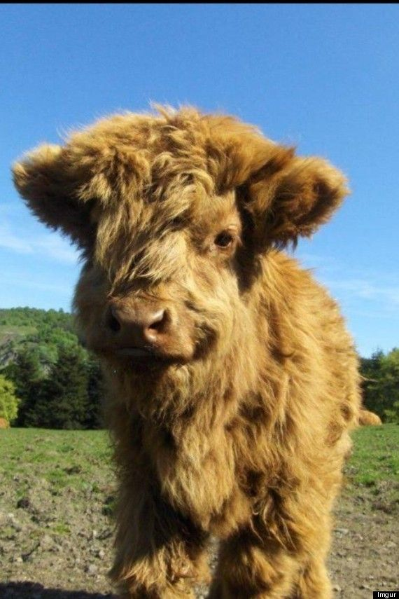 Miniature highland cattle | Highland Cattle Photo: Adorable, Fluffy Animal Will Melt Your Heart