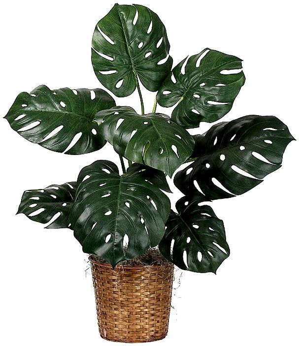 Monstera improves air quality at night. Monstera is really good at absorbing formaldehyde.  It also absorbs carbon dioxide at night and releases the oxygen, so it is helpful in improving air quality. It is also good looking and relatively easy to maintain.