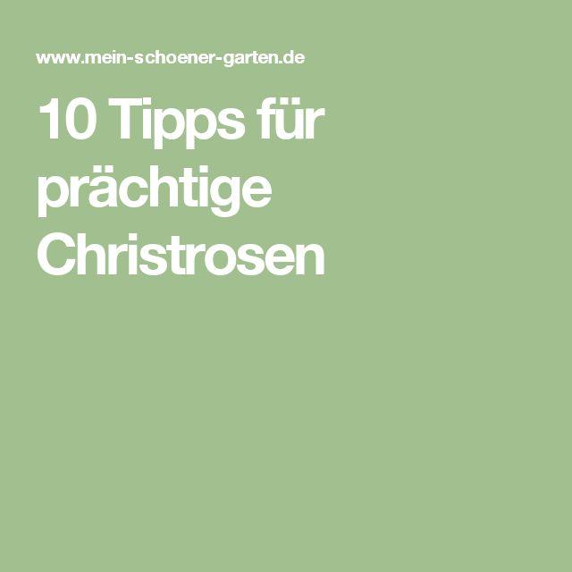 10 Tipps für prächtige Christrosen