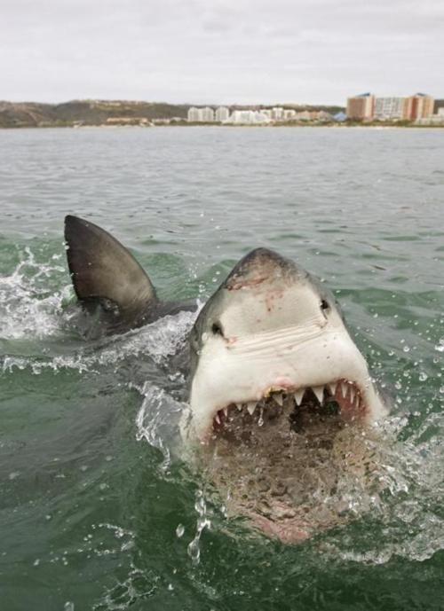 sharkSea Creatures, Sharks Weeks, The Ocean, At The Beach, Furries Friends, White Sharks, Sharkweek, Animal, Great White Shark