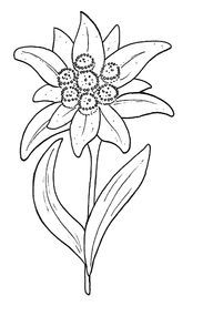 Plants Embroidery Design: Edelweiss from Embroidery