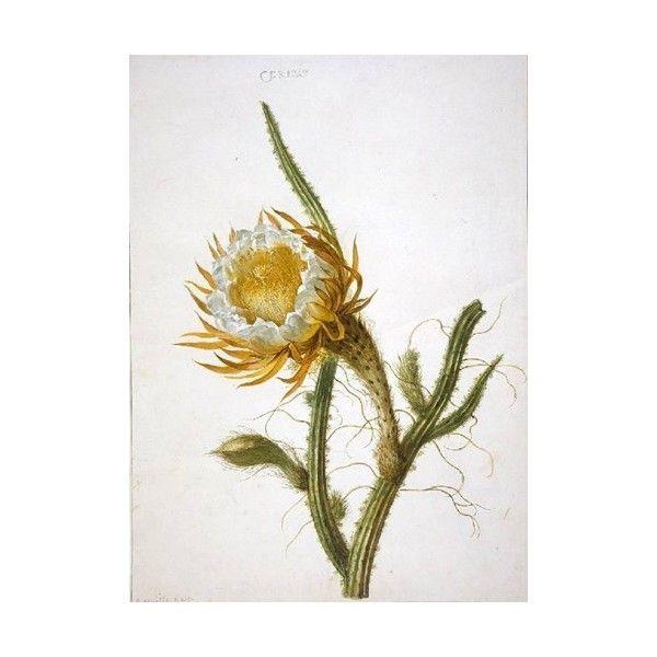 Selenicereus grandiflorus (Queen-of-the-Night or Night-Flowering... via Polyvore