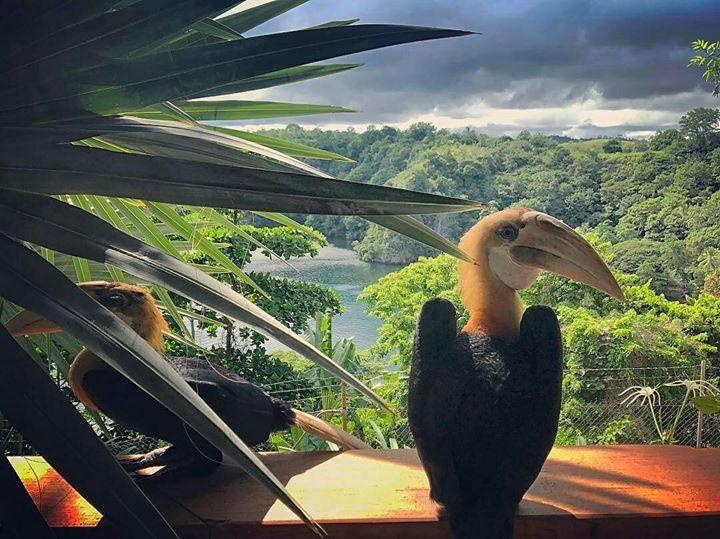 Photo via | jny_32 #Tufi Blyth's Hornbill native to PNG. Such incredible creatures! #tufi #imissthem #tbt #travel #fjord #hornbillbird #takemeback #nature #rainforest #seetheworld