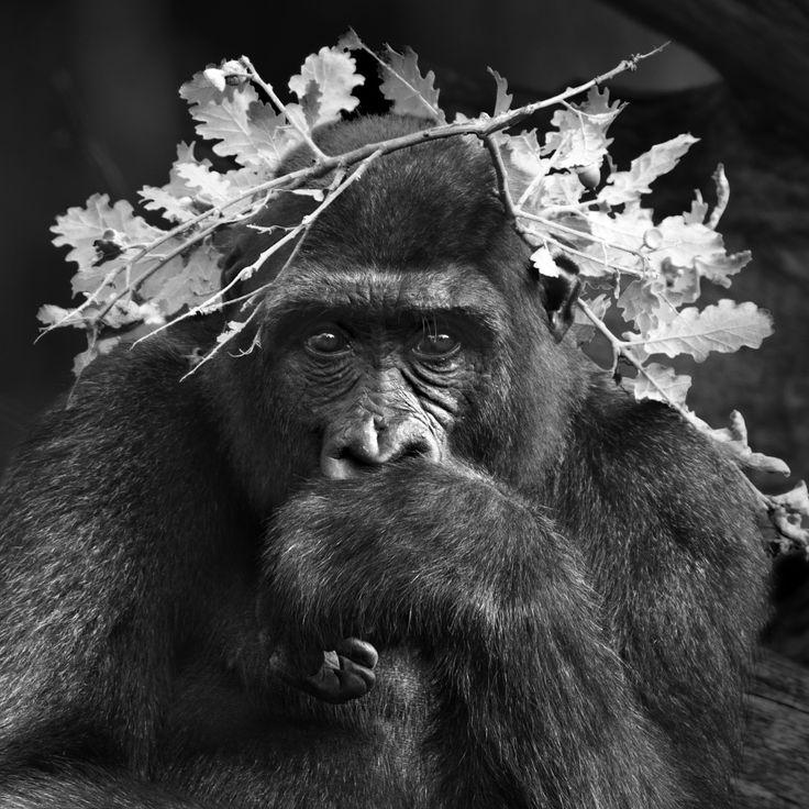 Serie Primates, 2015. La Vallée des Singes, Romagne, Francia| Isabel Munoz    «Les femelles peuvent se faire accepter par d'autres communautés mais pas les mâles. Les mâles sont protégés au début par la mère mais quand ils commencent à grandir, ils entrent en concurrence avec le père et ils doivent disparaître de la famille pour vivre seuls ou fonder leur propre famille. Ce qui pose la question t...