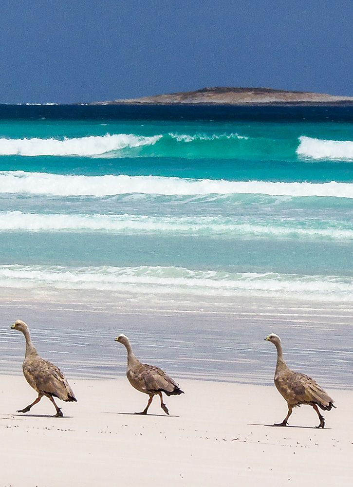 Cape Barren geese are just some of the wildlife wandering the beaches in Cape Arid National Park, near Esperance, Western Australia. Find out more about the park at GetawayWA: http://wp.me/p8jF6B-2m