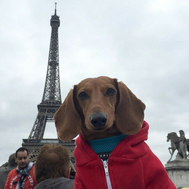 An American Dachshund in Paris. -Frankie on holiday from Instagram Repost