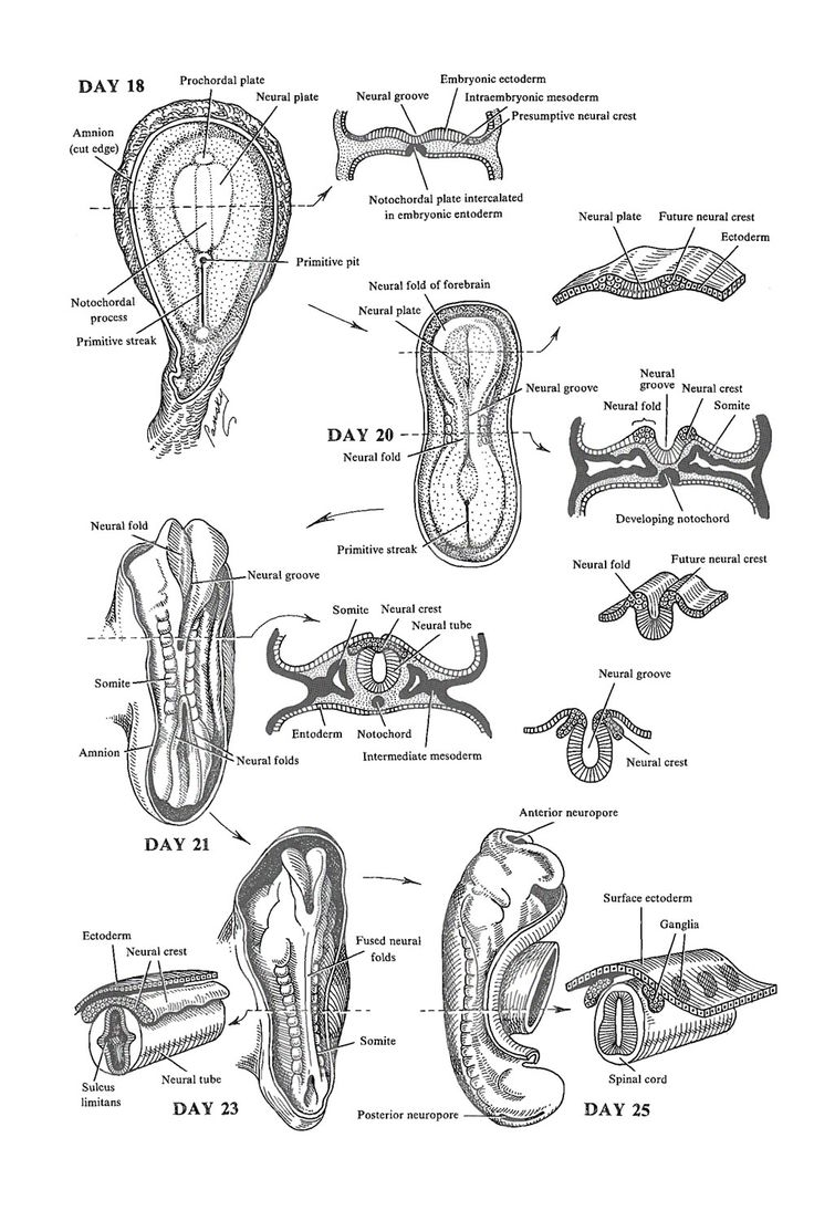 early nervous system development:  the neural tube and neural crest: image #1