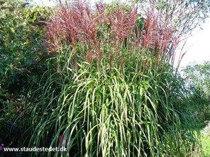 miscanthus sinensis 39 malepartus 39 elefantgr s grasses pinterest products. Black Bedroom Furniture Sets. Home Design Ideas