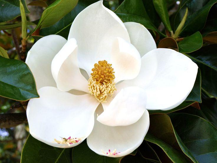 Magnólia, flor da simpatia    As magnólias são amplamente cultivadas em todo o mundo. Informações sobre os tipos diferentes de árvores...